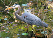 Bird watching Costa Rica: blue heron