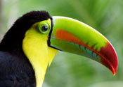 Bird watching Costa Rica: Tucan