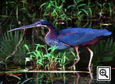 Costa Rica bird watching - agami